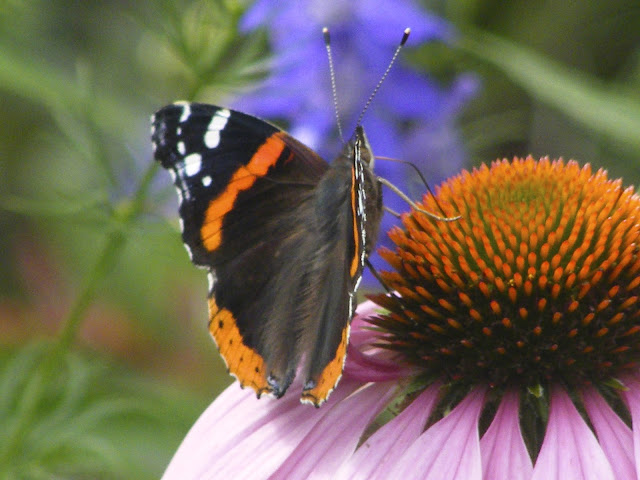pollinators like bees and butterflies on purple coneflower