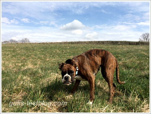 Boxer Amy beim Osterspaziergang