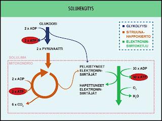 Glukolyysi