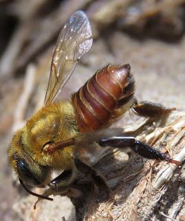 Megachilidae