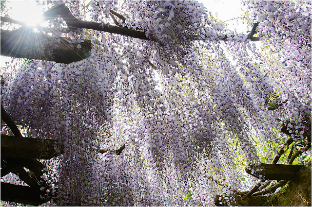 The sun was streaming through the wisteria