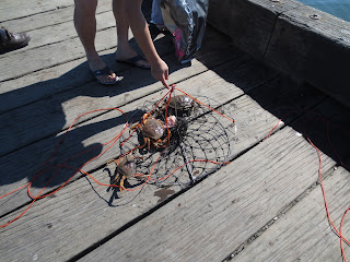 Crabs caught in trap by docks at Jericho Beach Vancouver, BC