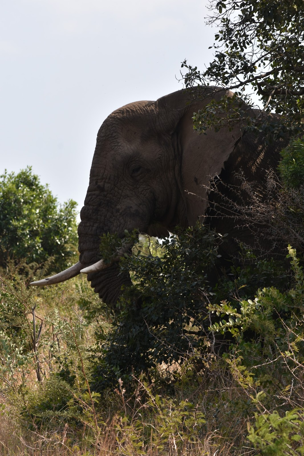Picture of a elephant eating leaves.