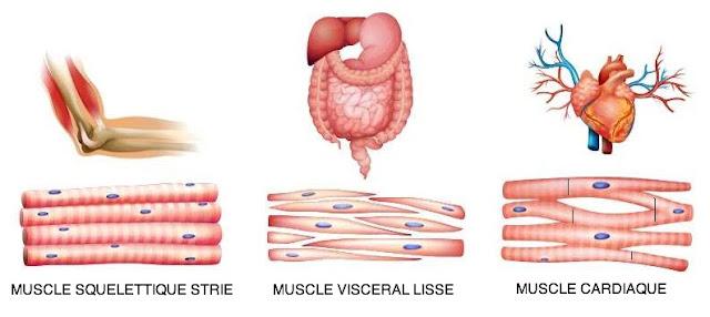 trois types muscles strié lisse cardiaque infirmier