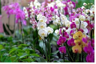 Famili monokotil orchidaceae - pustakapengetahuan.com
