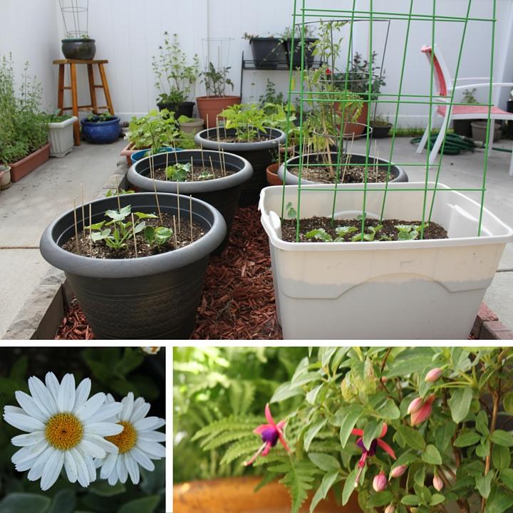 Garden Update: Mid-June 2016 // WWW.THEJOYBLOG.NET