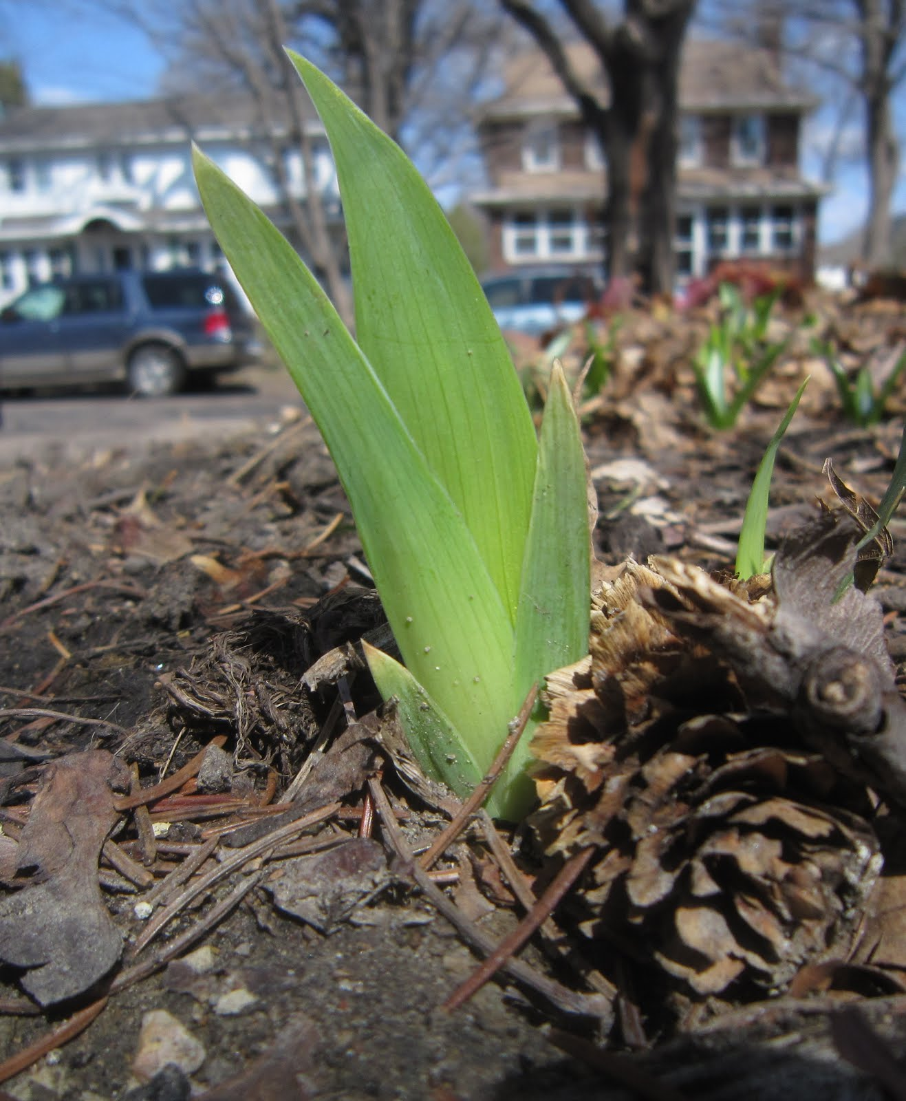 Chuck Does Art Identifying Bulbs Growing In Early Spring
