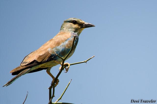 migrant bird on tree top in Tal Chapar Rajasthan