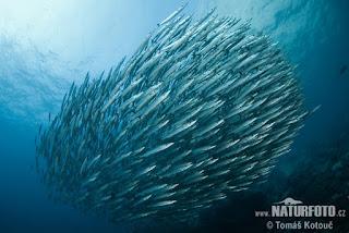 siklus ikan barakuda