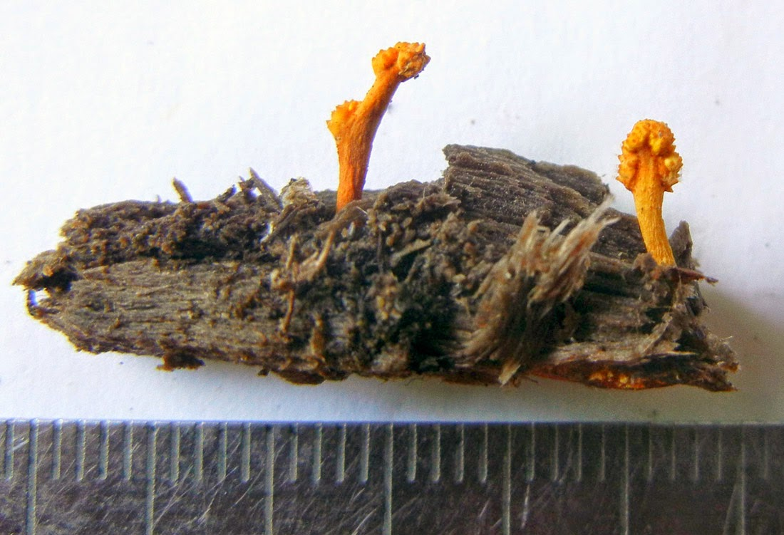 parasitic Ophiocordyceps variabilis with larval host