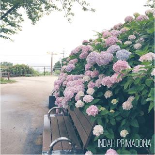hydrangea flower, hydrangea, hydrangea festival, bunga hydrangea, festival bunga