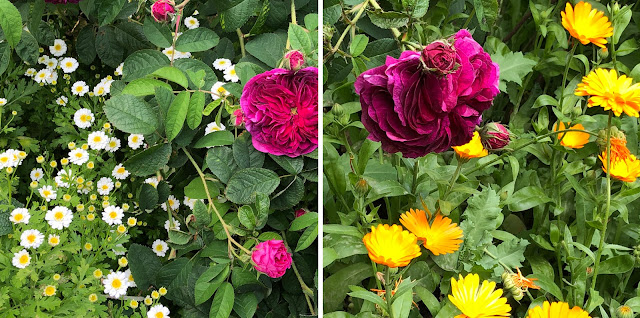 Southwark Cathedral Herb garden,roses, feverfew, calendula