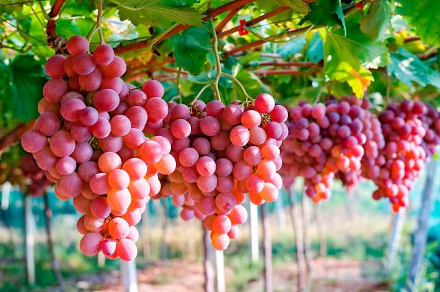 uva fresca peruana, agroexportacion uva
