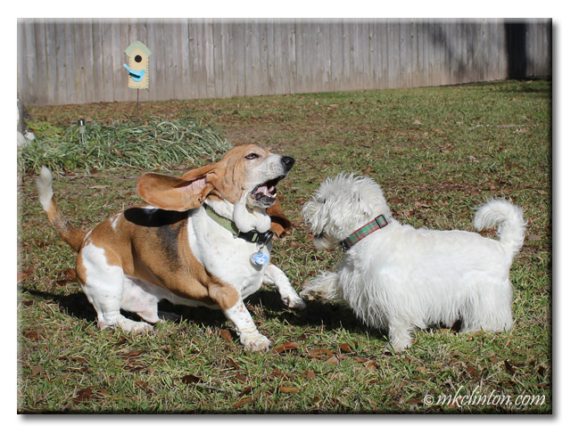 Basset and Westie dogs wrestling