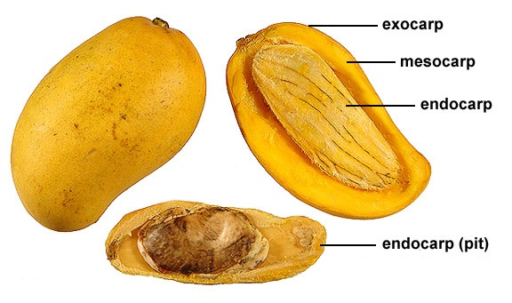 endokarp, mesokarp, eksokarp