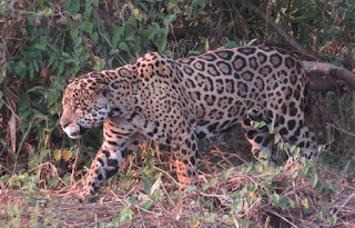 Panthera onca, Jaguar