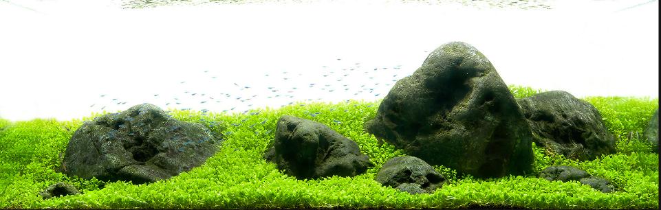 Mẫu bố cục thủy sinh này có vẻ chỉ trồng cây trân châu Nhật