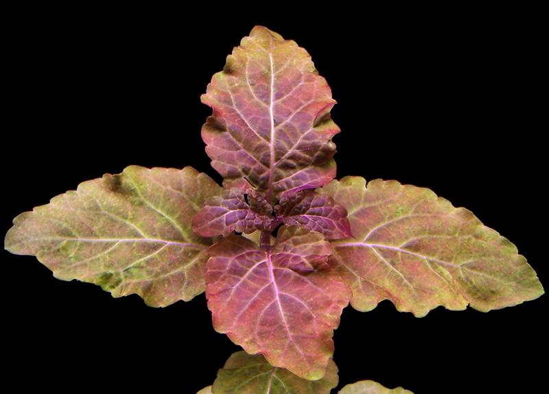 Vẻ đẹp của cây thủy sinh tía tô