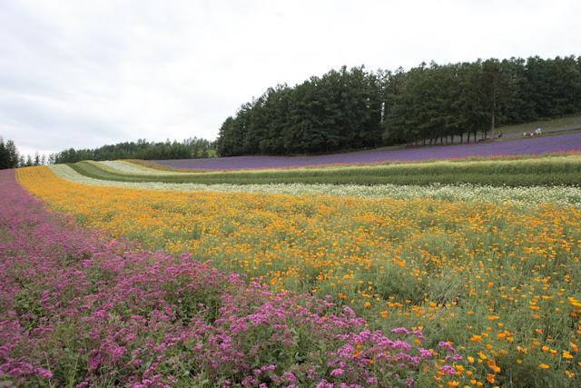 ファーム富田、彩りの畑
