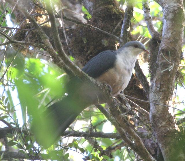 dan didunia internasional dikenal dengan nama  Mengenal Burung Merpati-Gunung Mada