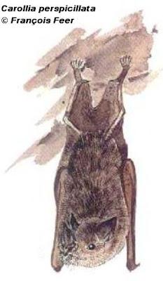 Murciélago jaspeado Carollia perspicillata