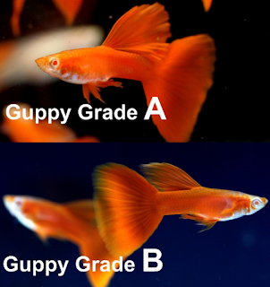 GUPPY GRADE A DAN B