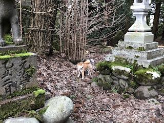 刀尾神社での赤い首輪がよく似合う柴犬ゆきさん1