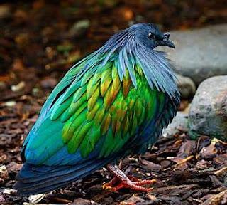 Junai Emas,si burung merpati nan eksotis