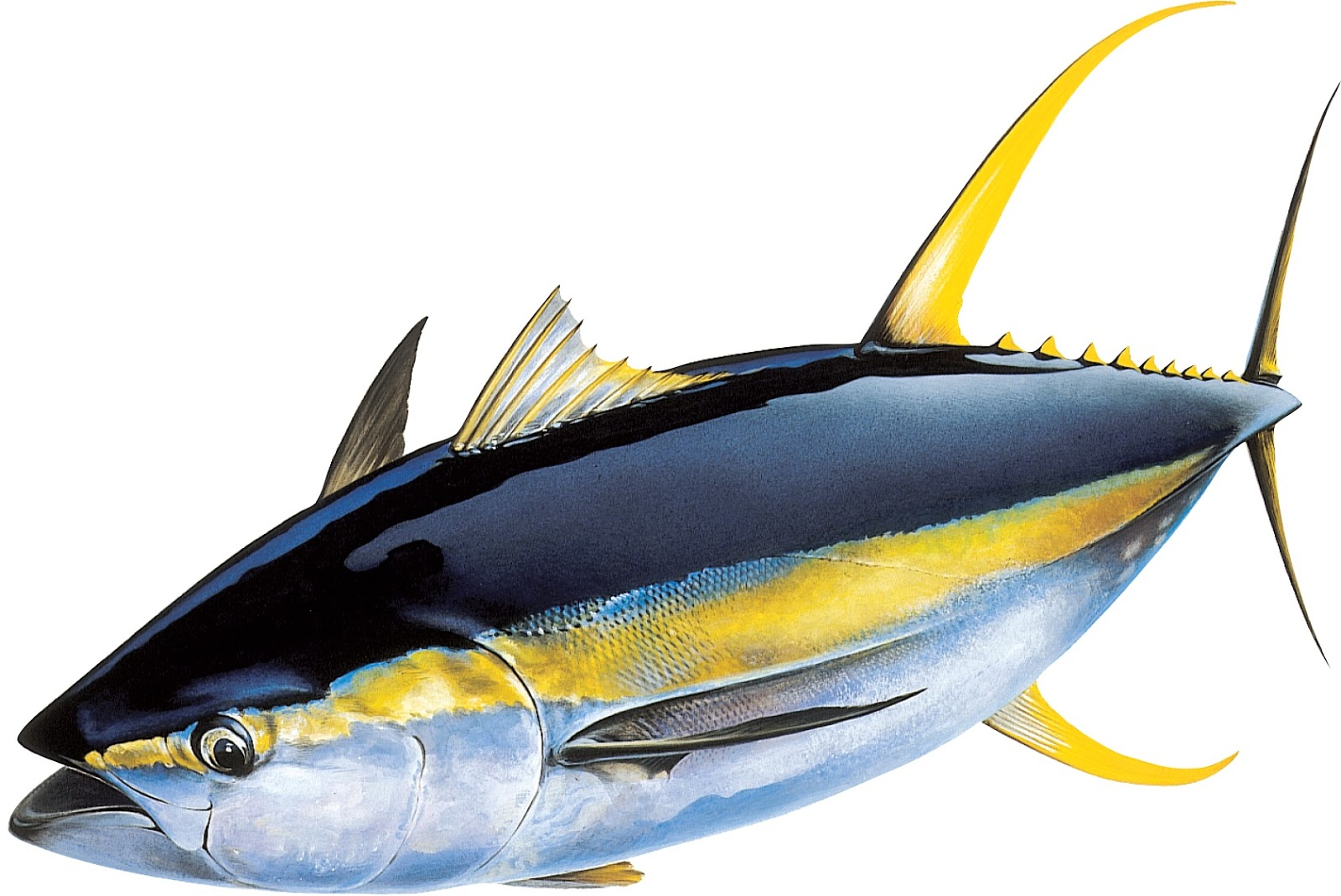 Making Yellowfin Tuna Hg Product For New Tuna Fish Factory