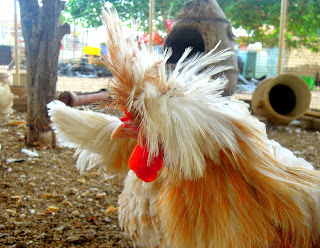 feather head chicken