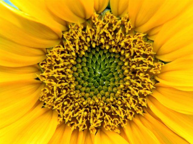 piękne kwiaty, żółty, słonecznik