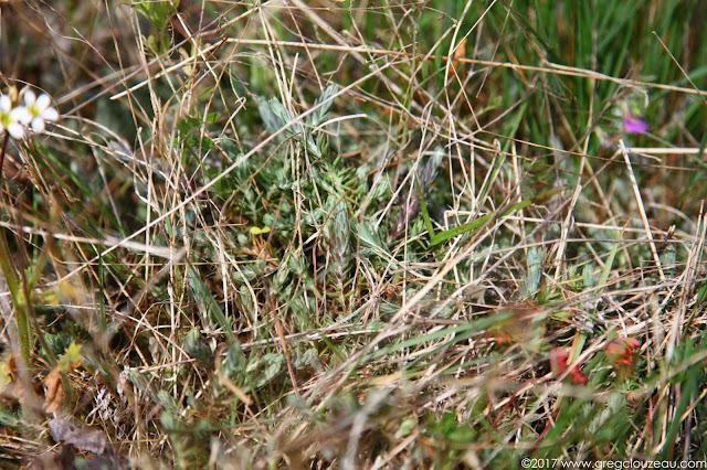 La concurrence est rude pour émerger des hautes herbes, joncs...