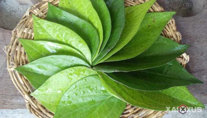 Cara mengobati sakit mata dengan daun sirih