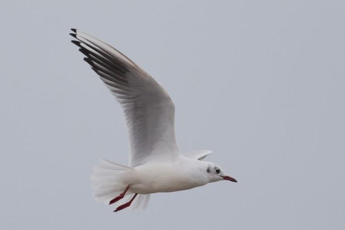 black-american-gulls-nude
