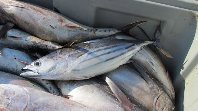 cara menyimpan ikan tongkol di kulkas
