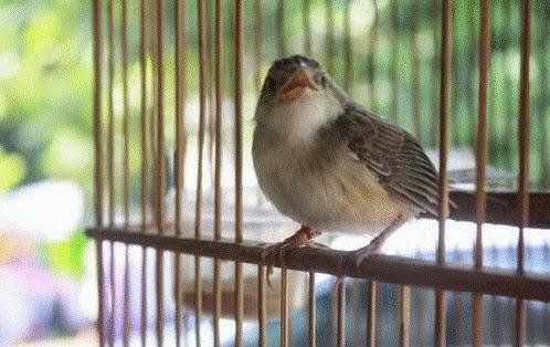 Gambar Burung Ciblek Gunung