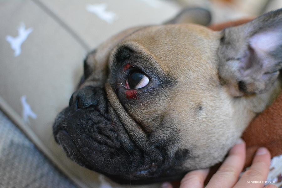 Hundeblog Französische Bulldogge Allergie Juckreiz