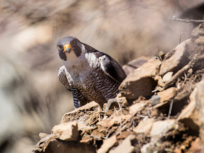 Adult Male Peregrine Falcon Nesting on Mt Tom