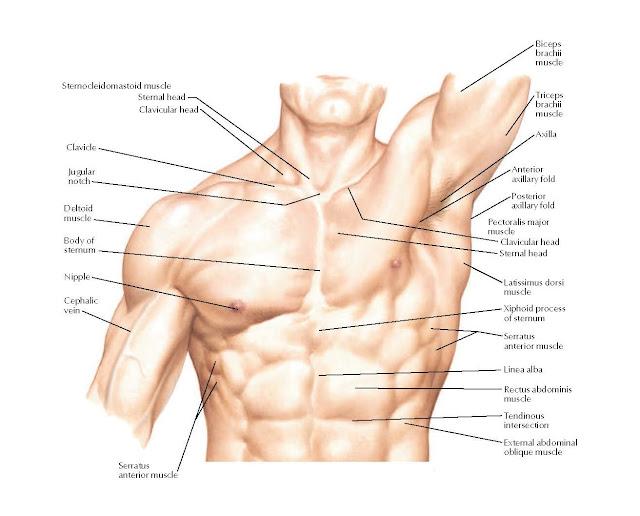 Thorax: Surface Anatomy