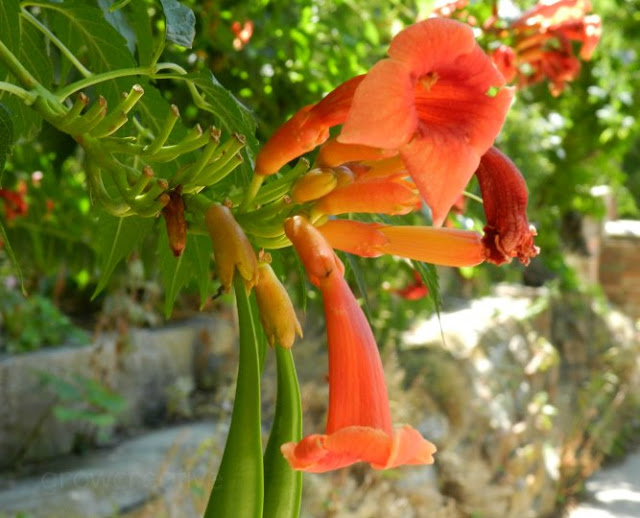 Orange Trumpet Vine Flowers