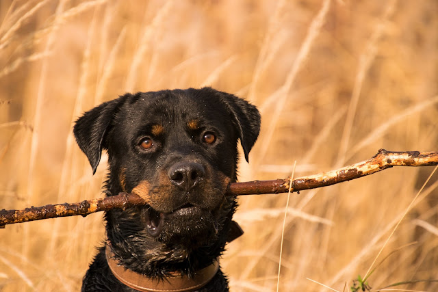 How to  Take Care of Rottweiler Puppies - RictasBlog