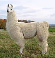 Beyaz bir lama hayvanının yandan görünüşü