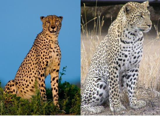 Dressed Up Digits: Animalistic Week--Cheetah or Leopard or Leopard or  Cheetah!