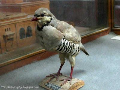 National Bird Of Pakistan-Chukar Partridge picture