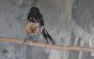 Tips Dan Cara Melakukan Proses Perawatan Burung Murai Batu Yang Sedang Mabung Kering