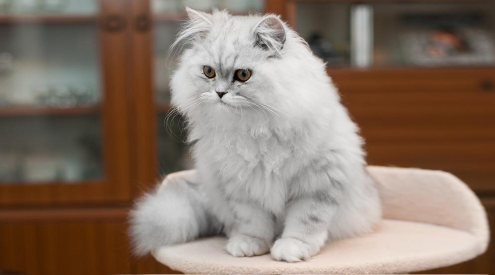 Cara Merawat Kucing Anggora Dan Tips Menilah Jenis Kucing Anggora Galur Murni