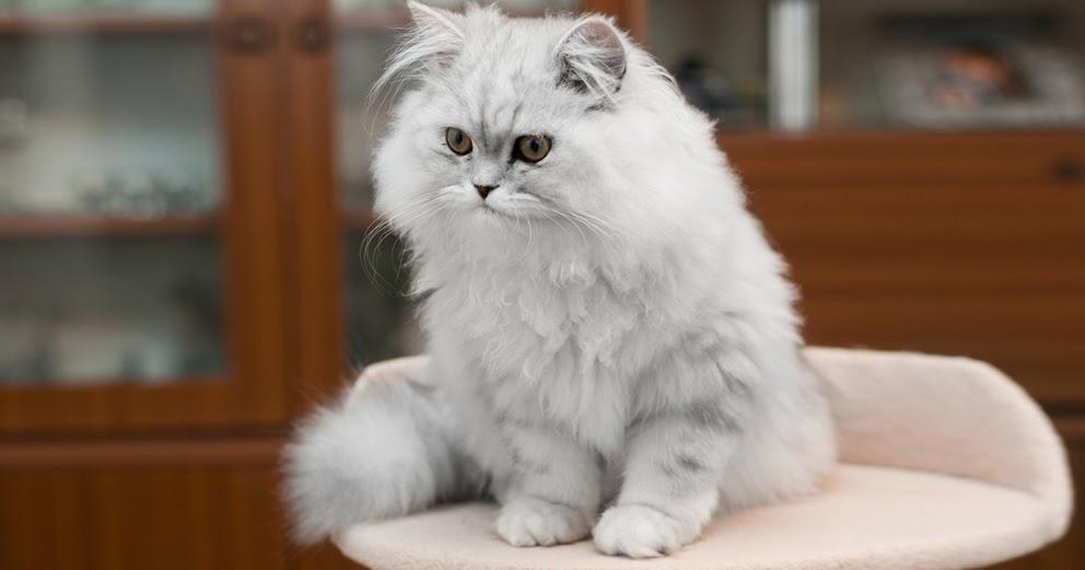 Cara Merawat Kucing Anggora Dan Tips Menilah Jenis Kucing