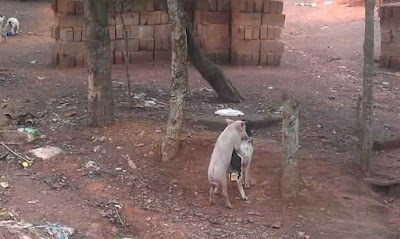 See Photos Of A Pig Humping A Goat In Enugu 3