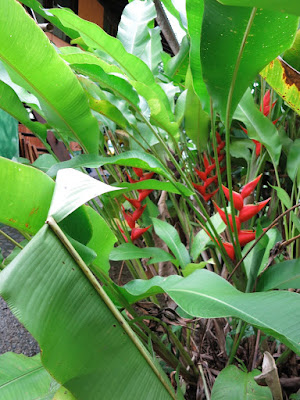 cultivated heliconia, Costa Rica