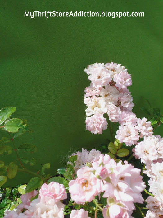 Pale pink fairy roses